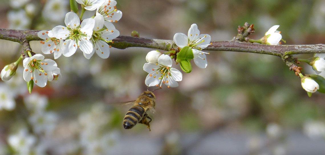 Winterbiene grüßt Sommerbiene
