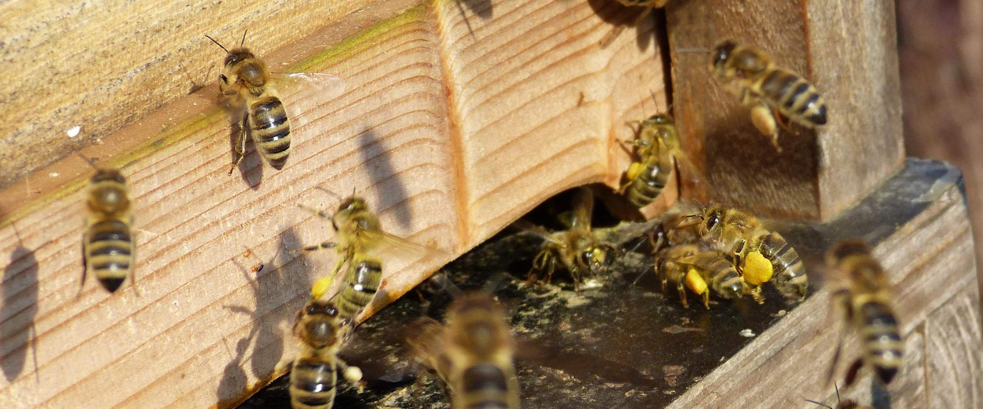 Vom Blütennektar zum Bienenhonig