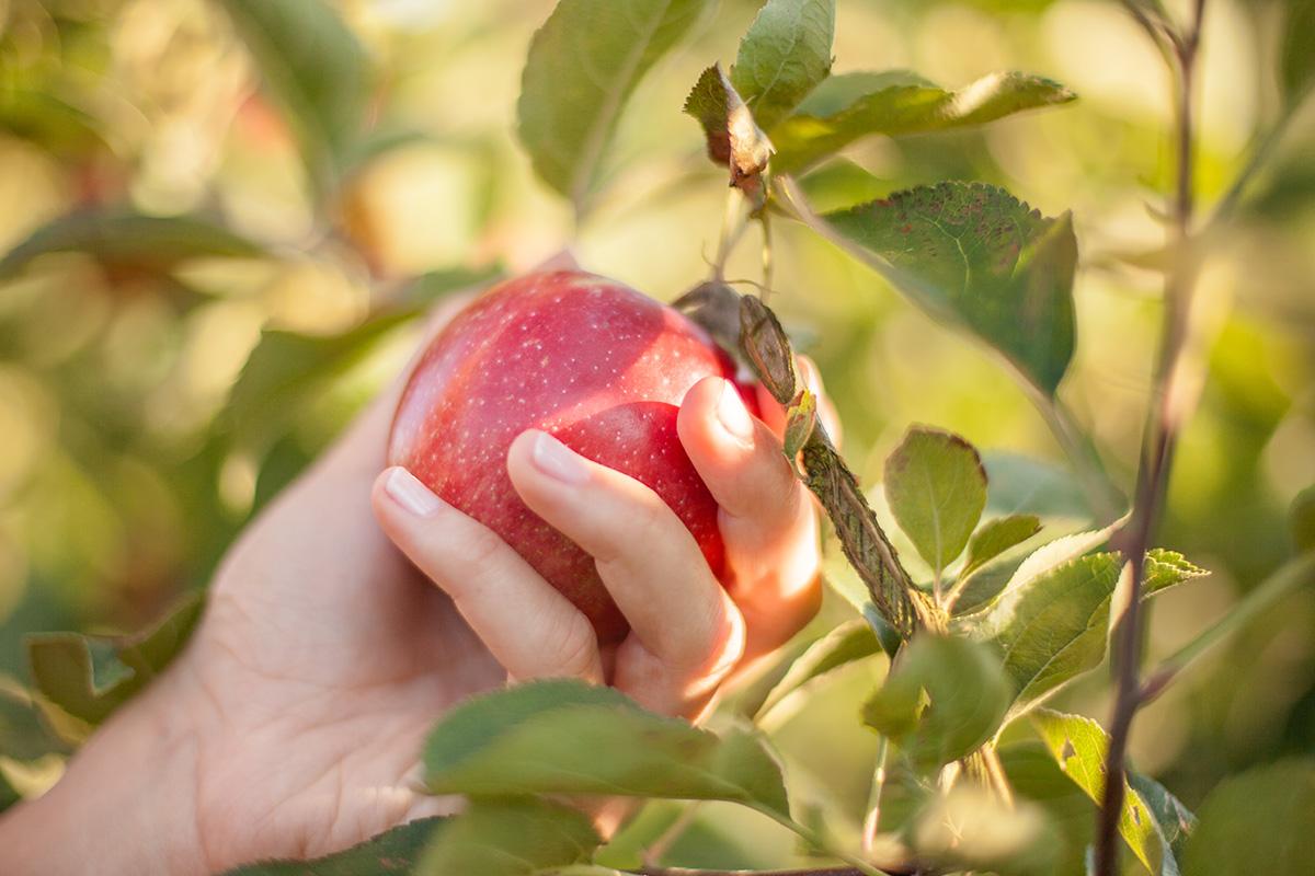 30 Apfelsorten - Ernte in Handarbeit