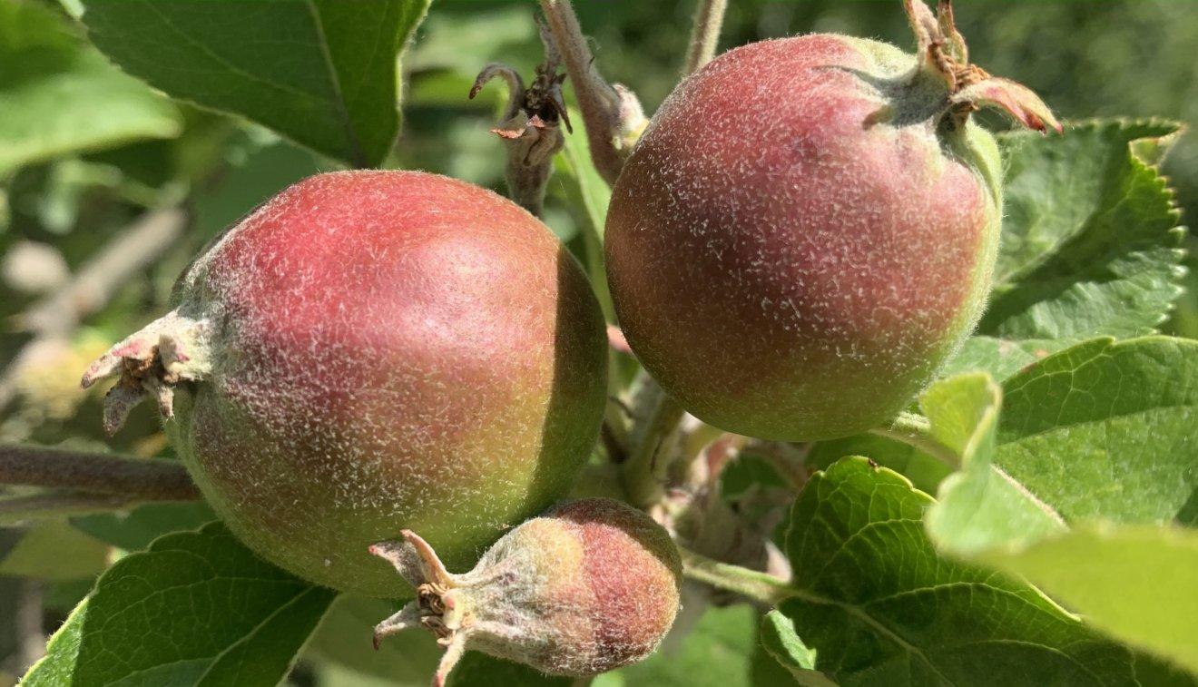 Fruchtansätze Apfelbaum