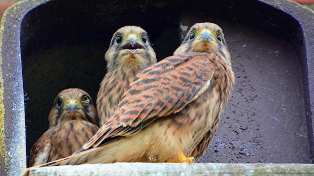 Falkenkinder