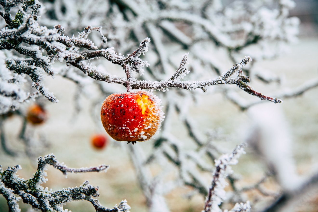 Apfel am Winterbaum